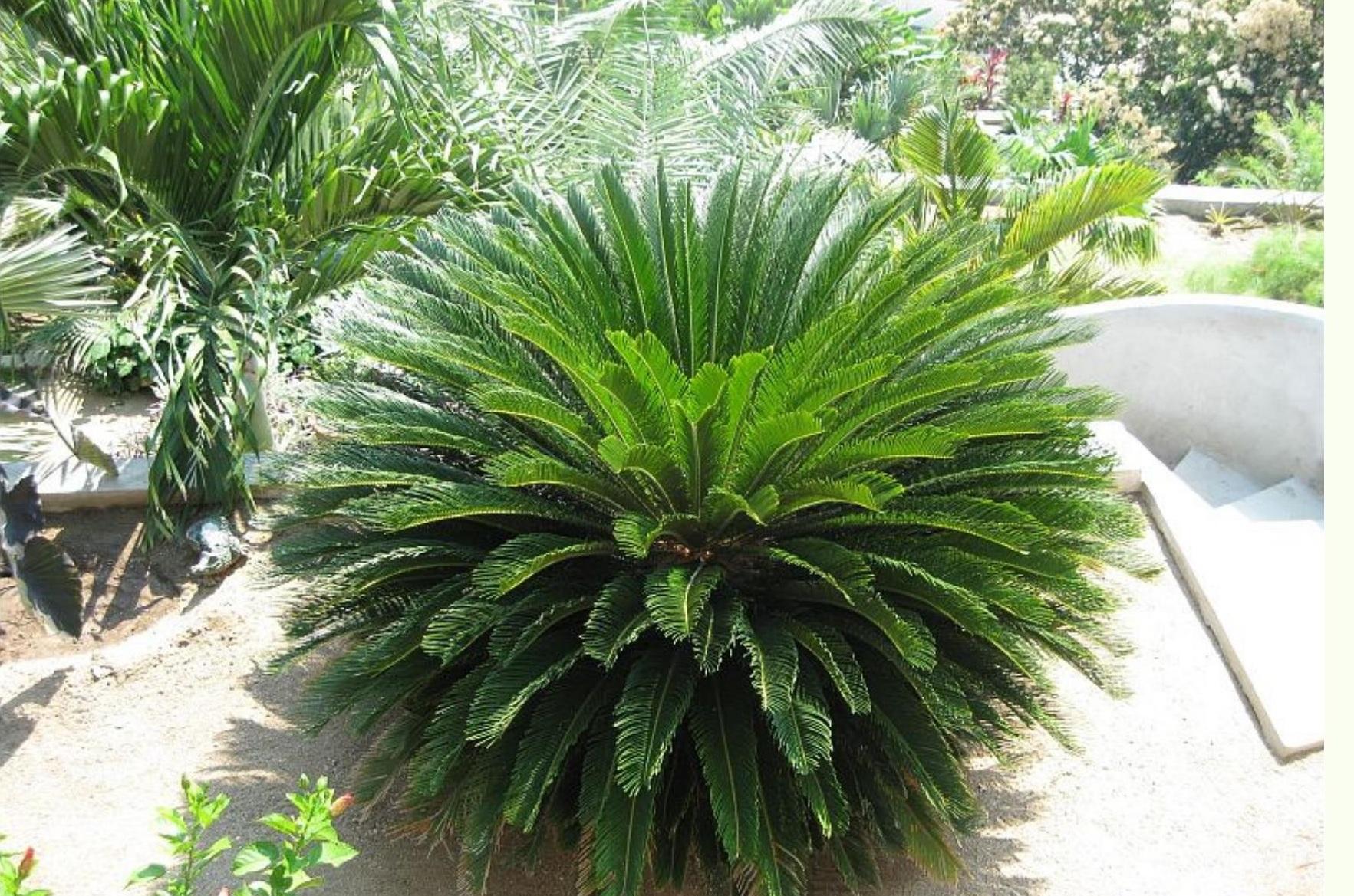 Sago Palm I Planted Roots In Mexico Manzanillo Sun