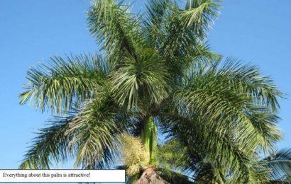 The Cuban Royal Palm