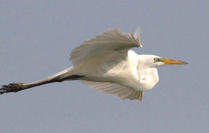 The Big White Bird