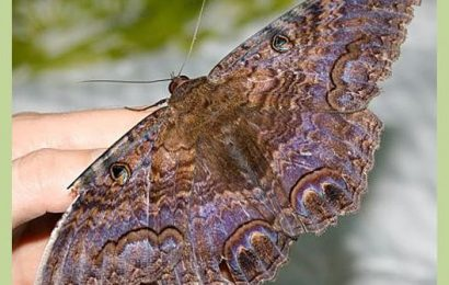 Black Witch Moth – Butterfly of Death