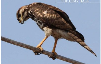 The Gray Hawk