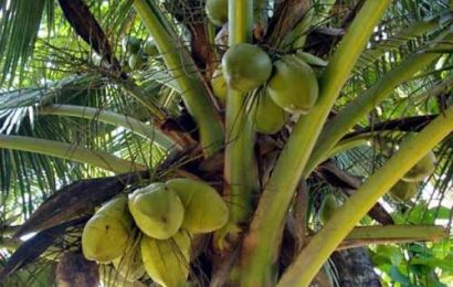 The Coconut Palm (part 1)