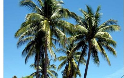 Coconut Palm (Part II)