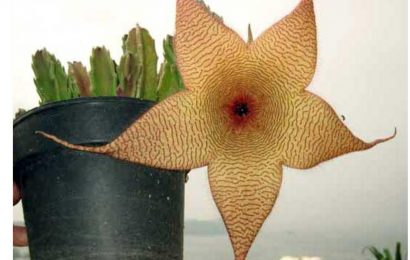 Starfish Flower