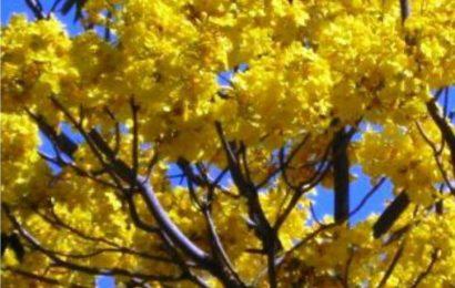 Primavera Tree