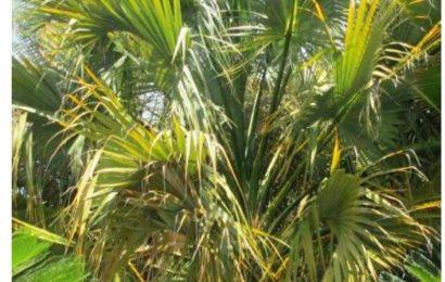 Mexican Palmetto
