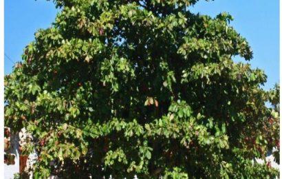 Tropical Almond Tree