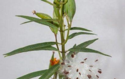Mexican Milkweed