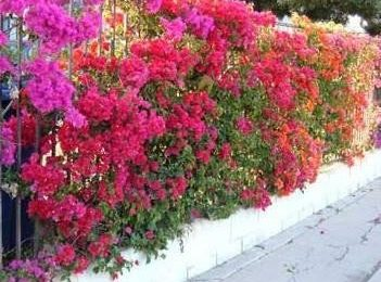 I Planted Roots In Mexico – Bougainvillea