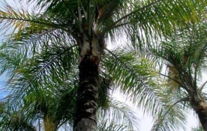 I Planted Roots In Mexico – Queen Palm