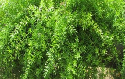 I Planted Roots In Mexico – Asparagus Fern
