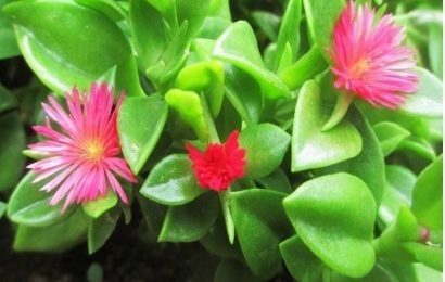 I Planted Roots In Mexico – Baby Sun Rose