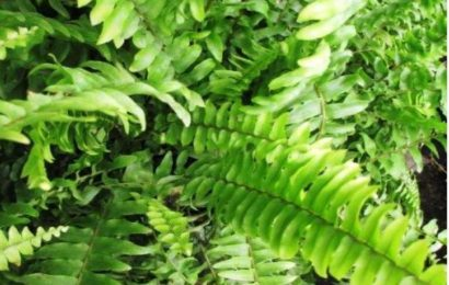I Planted Roots In Mexico – Boston Fern