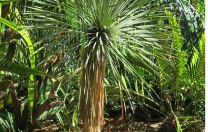 I Planted Roots In Mexico – Beaked Yucca