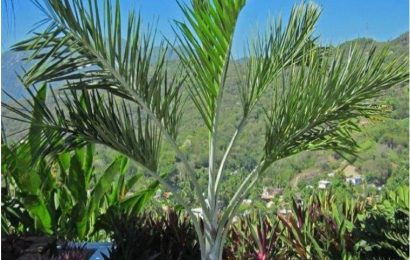I Planted Roots In Mexico – Buccaneer Palm