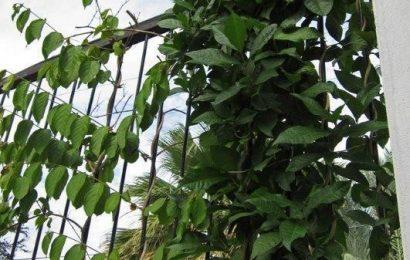 Roots in Mexico – Rangoon Creeper