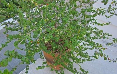 I Planted Roots In Mexico -Surinam Cherry