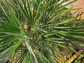 I Planted Roots In Mexico – Miniature Chusan Fan Palm