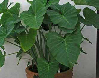 I Planted Roots In Mexico – Arrow Leaf Elephant Ear