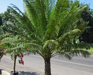 I Planted Roots In Mexico- Queen Sago Palm