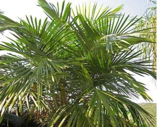 I planted roots in Mexico – Syagrus Palm Cultivars