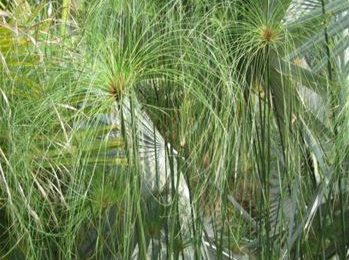 I planted roots in Mexico – Papyrus