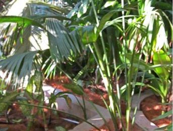 I Planted roots in Mexico – Panama Hat Palm