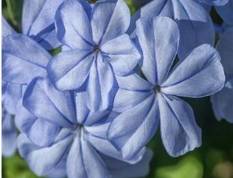 I planted roots in Mexico – Cape Plumbago