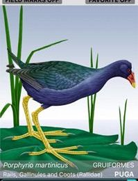 Is that a Purple Gallinule in your pocket, or are you happy to see me?