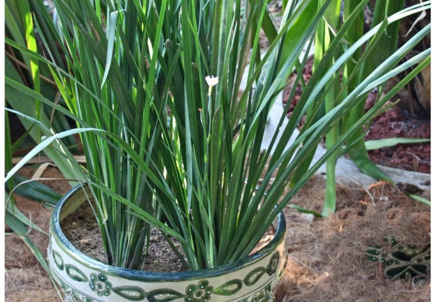 I Planted Roots In Mexico – African Iris