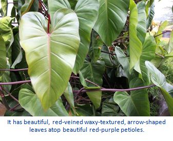 Red Philodendron-I Planted Roots in Mexico – Manzanillo Sun