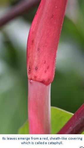 Red Philodendron, Philodendron erubescens