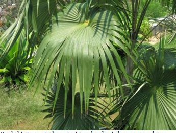 I planted roots in Mexico – Miraguama Palm, Coccothrinax miraguama