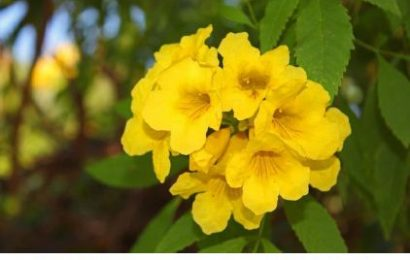 I planted roots in Mexico – Yellow Bells