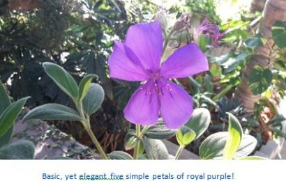 I planted roots in Mexico – Princess Flower