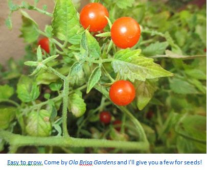 I Planted roots in Mexico – Cherry Tomato