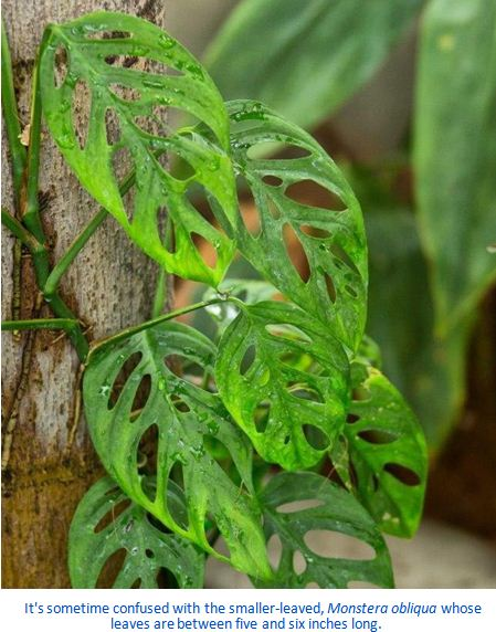 I planted roots in Mexico – Window Leaf