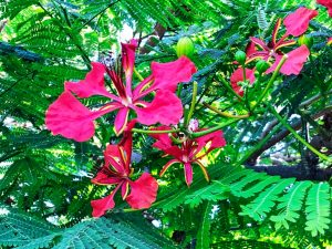 Royal poincian flowers - Manzanillo Sun eMagazine