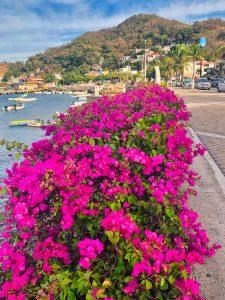 Bougainvillea in el Centro - Manzanillo Sun eMagazine
