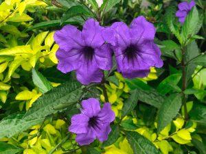 Petunia - Manzanillo Sun eMagazine