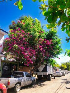 Large bougainvillea tree - Manzanillo Sun eMagazine
