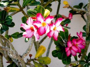 Desert rose - Manzanillo Sun eMagazine