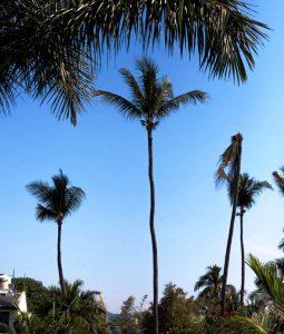 Tall palms - Manzanillo Sun eMagazine