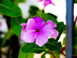 Big leaf periwinkle - Manzanillo Sun eMagazine