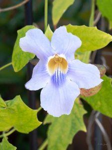 Blue skyflower - Manzanillo Sun eMagazine