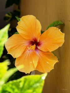 Hibiscus - Manzanillo Sun eMagazine