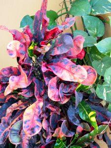Croton - Manzanillo Sun eMagazine