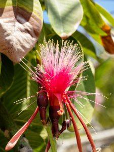 Shaving brush tree - Manzanillo Sun eMagazine