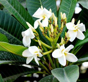 White flowers - Manzanillo Sun eMagazine