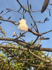 Shaving brush tree after bloom - Manzanillo Sun eMagazine